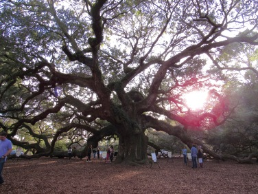 Angel Oak Tree - 1500 years old